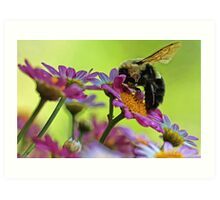Bumble Bee and Beautiful Marguerite Daisies Art Print