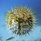 Globe Fish, Macedon Wreck, Rottnest by JVGMcGhie