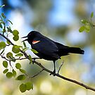 Red-winged Blackbird, male in an aspen tree by amontanaview