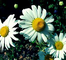 Marguerites by Rewards4life
