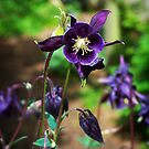 Columbine In Purple by Rewards4life