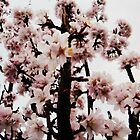Cherry Blossom by colettelydon