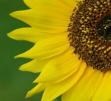 Sunflower by Heather Thorsen