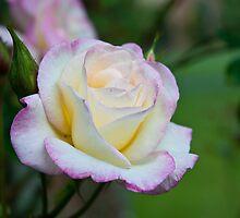 Tears of a Rose  by Jenny1611