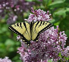 Eastern Tiger Swallowtail and Lilac - top view by boxoftacks