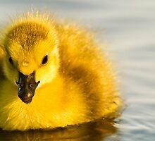Cute Duckling by Shaun Stanley