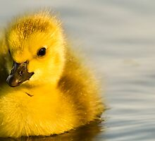 Cute Duckling by Shaun Stanley