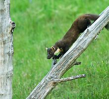 Pine Marten Climbing Down by kernuak