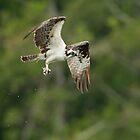 Osprey with her Prize by David Friederich
