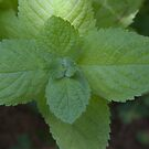 Apple Mint (as-is) by Gene Walls