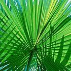 fan palm by richard  webb