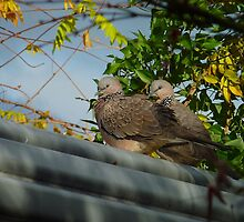 roosting doves by sharka69