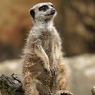 Meerkat by Katie Paul