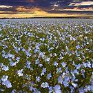 Linen in Bloom by Geoff Carpenter