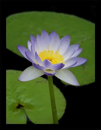 Lily Two Leaf  by jono johnson