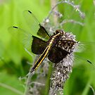 Libellula luctuosa- Widow Skimmer- Female   by Tracy Faught