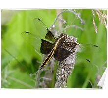 Libellula luctuosa- Widow Skimmer- Female   Poster