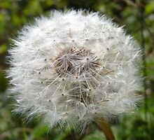 Dandelion seed head - Ireland by olcote1