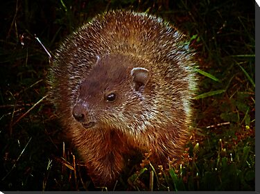 Baby Groundhog by vigor