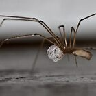 Spider with its eggs by freezaframe