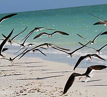 A flock of skimmers in flight by jozi1