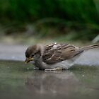 Young Sparow Reflection by Mully410