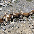Stone Sheep BC Canada  by Don Siebel