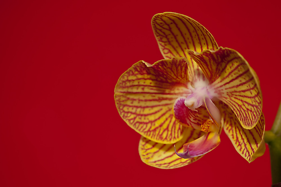 Orchid VII by Aler
