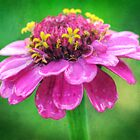 Shocking pink zinnia by Carina514