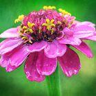 Shocking pink zinnia by Carina514