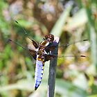 Male Broad Bodied Chaser Dragonfly by missmoneypenny