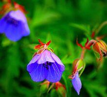 Meadow Cranesbill, Geranium pratense, Wild Flower by Ian Alex Blease