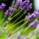 Garden Delights - Lavender by Melanie Simmonds