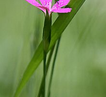 Deptford Pink - Dianthus by T.J. Martin