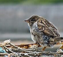 Harbour Sparrow ~ Lyme Regis by Susie Peek