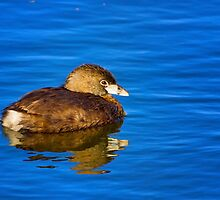 Pied Billed Grebe by John Absher