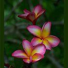 Hawaiian Sunset FrangipaniI - Colour of Passion by jono johnson
