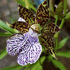 Zygopetalum maculatum single orchid by waxyfrog