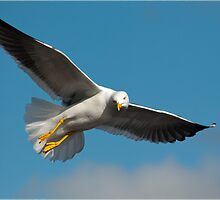 Yellow Legged Gull by Margaret S Sweeny