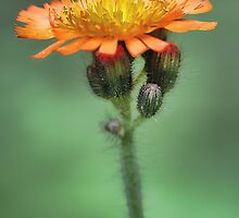 Orange Hawkweed -- Soft Afternoon Light by T.J. Martin
