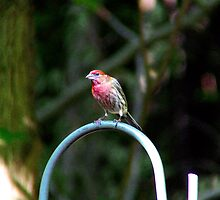 House Finch - Male  by Marcia Rubin