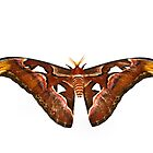 Atlas Moth by JEZ22