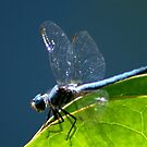 Blue Dragonfly by loiteke