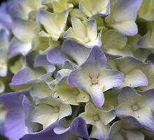 Hydrangea 3 by chrstnes73