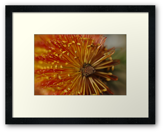 Beautiful Banksia Flower by Clare Colins