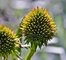 Prickly beauty by Adam1965