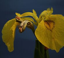 Yellow Flag Iris, River Tees by Ian Alex Blease