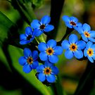 Forget-Me-Nots, Manfield Scar,River Tees, England by Ian Alex Blease