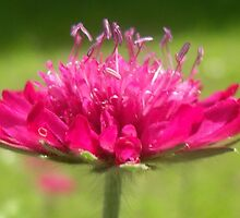 Scabiosa  by ©The Creative  Minds