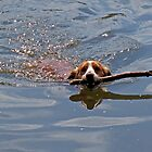 Jasper swimming with stick by hootonles